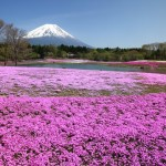 富士芝桜まつりとは? はとバスやクラブツーリズムが人気?