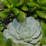 多肉植物とはなんだ? 種類や名前の一覧! 写真