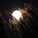 2015年のお月見の日はいつ? お月見に飾る植物は?